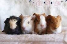 Lots of Young Colourful Guinea Pigs Elizabeth East Playford Area Preview
