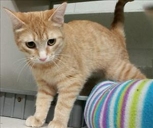 """Young Female Cat - Domestic Short Hair: """"Gertie"""""""
