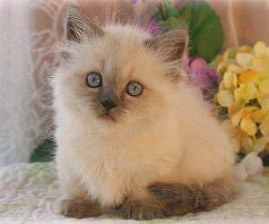 Miniture beautiful seal point munchkin kittens