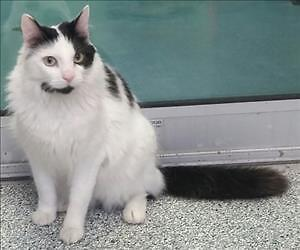 "Adult Male Cat - Domestic Long Hair: ""Chester"""