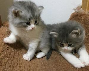 Chaton Sibérien chat Hypoallergène