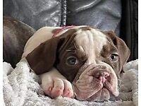 Old Tyme English Bulldog Pup (bitch)