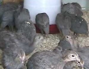 Guinea Fowl for Sale - 4-5 week old keets mixed hens / cocks $15