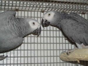 Proven AFRICAN GREY CONGO MALES (NOT TAME/FRIENDLY)