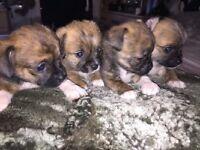 Adorable ShiChi Puppies