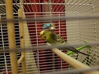 Beautiful green female budgie. She is about 10 months old