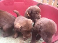 Malador (Malamute, Labrador x) puppies for sale