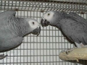 Breeder AFRICAN GREY CONGO MALES (NOT TAME/FRIENDLY)