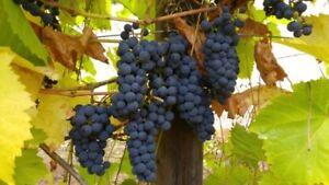 Organic Wine Grapes