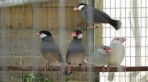 Family of 5 Java Finches. 2 parents and their 3 young in adult a