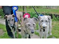EAST ANGLIAN FESTIVALS OF DOGS