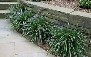 Liriope Muscari or lily turf Jerrabomberra Queanbeyan Area Preview