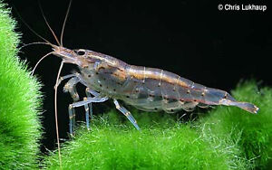 Amano Shrimp ( Best Algae Eater )