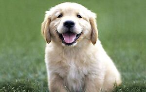 Looking for a golden retriever puppy for Christmas