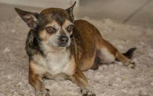 Affectionate Hugo the Chihuahua seeks a forever home Midland Swan Area Preview