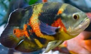 Wanting to buy large fish