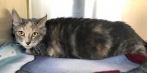 "Adult Female Cat - Domestic Short Hair: ""Liliana"""