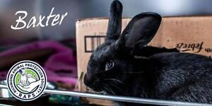 """Young Female Rabbit - Flemish Giant-American: """"Baxter"""""""