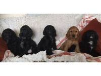 Cocker Spaniel Puppies Boys and Girls