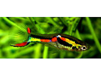 Endler Guppies & Cherry Red Shrimps both £1 each or 12 for £10