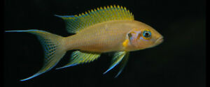 GERRY'S & SON  AFRICAN CICHLIDS , QUALITY SINCE 1985