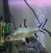 2x Large Silver Shark $30 each Aspendale Kingston Area Preview