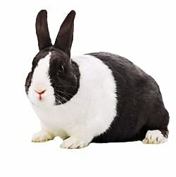 Looking for a Dutch rabbit