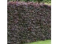 purple beech 2/3ft 60/90cm