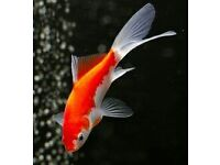 goldfish 2-3 inch fish for sale £1.50 each