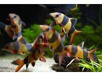 x 24 Fish | Tropical Fish Bundle | Angels, Neons, Barbs, Corydoras, Clown Loach, Rasbora |