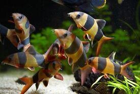 x5 Clown Loach | Freshwater Tropical Community Fish |