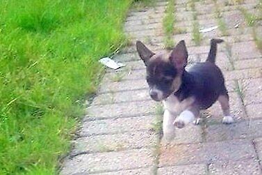 AbFab Chihuahuas for sale