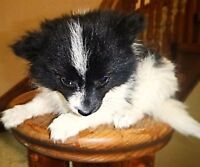 Pomeranian puppies (black and black and white parti colored)