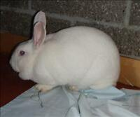 "Young Female Rabbit - New Zealand: ""Stitch"""