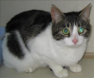 "Adult Female Cat - Domestic Short Hair: ""Millie"""