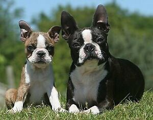 Looking For A Boston Terrier For Sale!