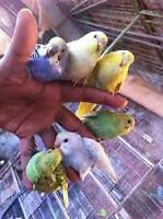 beautiful hand tamed budgies