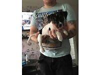 female jack russel puppy