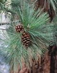 Sugar Pine Time