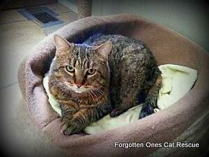 Adult Male  - Domestic Short Hair-Tabby
