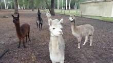 Huacaya Alpacas Brisbane City Brisbane North West Preview