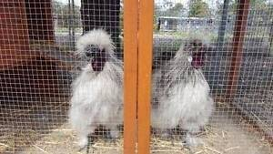 Splash Silkie Roosters Farley Maitland Area Preview