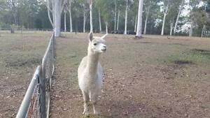 Huacaya Alpacas - For Sale Brisbane City Brisbane North West Preview