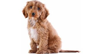 Wanted hypoallergenic puppy or dog small to midsize