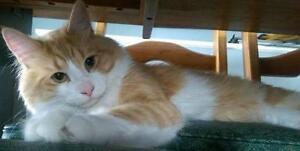 "Adult Male Cat - Domestic Medium Hair: ""Weasley"""