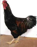 Barnvelder Rooster & Hen