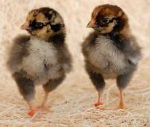 Heritage Chicks - (Ongoing Hatchings) Campbellfield, VIC Campbellfield Hume Area Preview