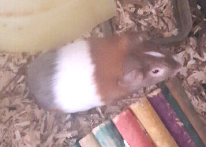 Male guinea pig with everything