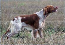 Wanting a quail hunting dog English pointer Brunswick Moreland Area Preview