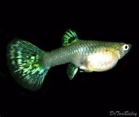 Female Guppy Tropical Fish